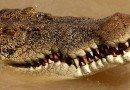 Crocodili introduşi într-o şcoală din Australia de patru indivizi, după ce au jefuit-o